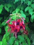 Flor: o eardrop da senhora imagem de stock royalty free