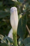Flor o Ipomoea de la luna alba foto de archivo