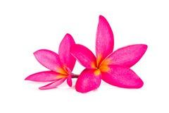 Flor o Plumeria del Frangipani aislado en el fondo blanco foto de archivo