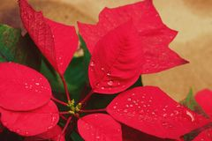 Flor o poinsetia de la Navidad con la gotita después de la lluvia, cierre encima de las hojas rojas florales en el jardín imagen de archivo libre de regalías