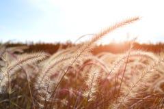Flor o prado de la hierba en el campo Imagen de archivo libre de regalías