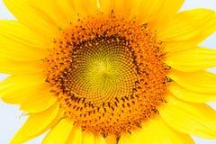 Flor obscura de Sun pelo fim acima do tiro Fotografia de Stock