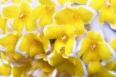 Flor oriental de Paperbush Fotos de archivo