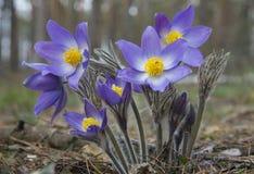 Flor oriental do pasqueflower Fotos de Stock Royalty Free