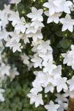 Flor ornamental, isophylla de la campánula Fotografía de archivo libre de regalías