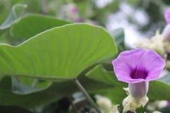 Flor ornamental púrpura Fotos de archivo