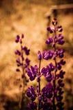 Flor oscura del lupine fotos de archivo libres de regalías