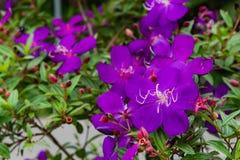 Flor ou granulosa roxo de Tibouchina no jardim imagens de stock royalty free
