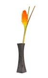 Flor ou Patumma da tulipa de Sião no vaso preto Foto de Stock
