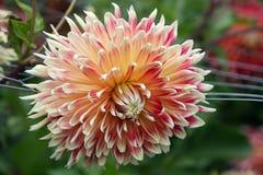 Flor pálida cor-de-rosa da dália na flor Fotografia de Stock Royalty Free