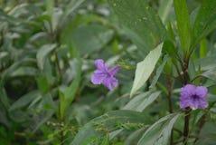 Flor Púrpura стоковые изображения