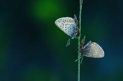 Flor-påskynda-fjäril Royaltyfri Fotografi