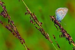 Flor-påskyndad fjäril Royaltyfria Foton
