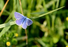 Flor-påskyndad fjäril i en äng Arkivfoto