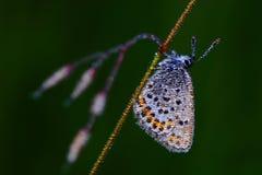 Flor-påskyndad fjäril (lycaenidaen) Royaltyfri Bild
