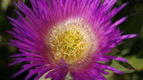 Flor púrpura 1 Fotografía de archivo