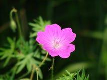 Flor púrpura Fotografía de archivo