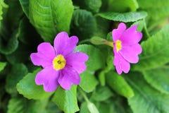 Flor púrpura imagenes de archivo