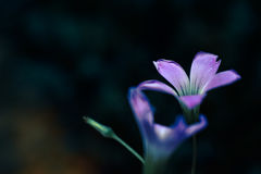 Flor púrpura Fotos de archivo
