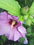 Flor púrpura Fotos de archivo libres de regalías