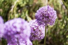 Flor púrpura Foto de archivo libre de regalías