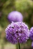 Flor púrpura Imágenes de archivo libres de regalías