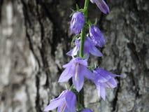 Flor púrpura acampanada Foto de archivo