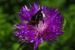 Flor púrpura aislada con la abeja en un fondo verde Imagenes de archivo