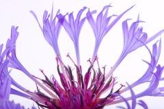 Flor púrpura aislada en blanco Imágenes de archivo libres de regalías