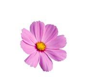Flor púrpura aislada en blanco, trayectoria del cosmos de recortes incluida Fotografía de archivo libre de regalías