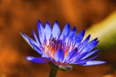 flor Púrpura-amarilla Fotos de archivo