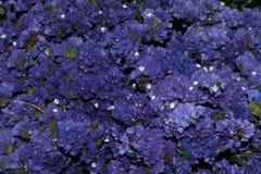 Flor púrpura azul del prado Fotografía de archivo