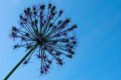 Flor púrpura bajo la forma de bola en un fondo del cielo azul fotos de archivo libres de regalías