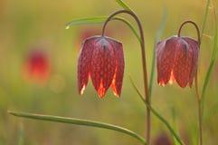 Flor Púrpura-blanca Fotos de archivo libres de regalías