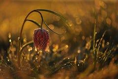 Flor Púrpura-blanca Foto de archivo libre de regalías