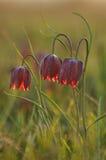 Flor Púrpura-blanca Imagen de archivo