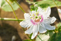 Flor púrpura blanca de la pasión Imagen de archivo libre de regalías