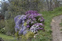 Flor púrpura blanca que cuelga en una pared del camino fotografía de archivo