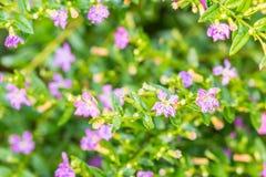 Flor púrpura, brezo falso o hyssopifolia travieso de Cuphea de la hierba Imagen de archivo