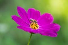 Flor púrpura brillante con la abeja De la flor del espacio primer delicado al aire libre Abeja macra Fotografía de archivo libre de regalías