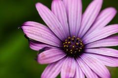 Flor púrpura brillante de la margarita Foto de archivo libre de regalías