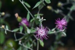 Flor púrpura con Bokeh borroso Fotos de archivo