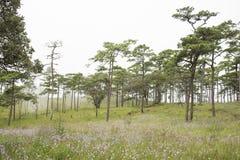 Flor púrpura con el bosque Phu Soi Dao National Park del árbol de pino, Foto de archivo libre de regalías