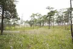 Flor púrpura con el bosque Phu Soi Dao National Park del árbol de pino, Imagen de archivo libre de regalías
