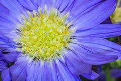 Flor púrpura con el corazón amarillo claro Fotografía de archivo