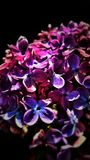 Flor púrpura con el fondo negro foto de archivo libre de regalías