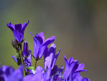 Flor púrpura con el fondo suave Fotos de archivo