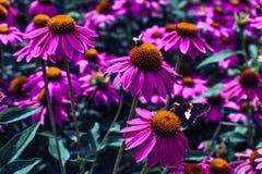 Flor púrpura con la abeja y la mariposa Fotos de archivo