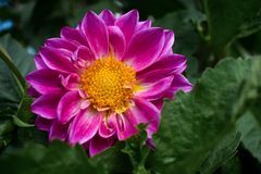 Flor púrpura con la semilla amarilla en el centro Fotografía de archivo libre de regalías