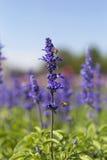 Flor púrpura con las abejas en jardín del verano Imágenes de archivo libres de regalías